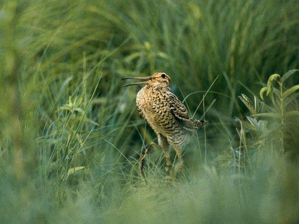 L'uccello più veloce del mondo, sospetta National Geographic